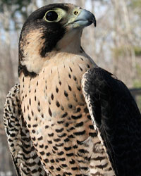 Athena, Horizon Wings' Peregrine Falcon