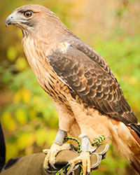 Patrick, Horizon Wings' Red-tailed Hawk