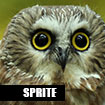 Sprite, Northern Saw Whet Owl