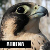 Athena, Horizon Wings' peregrine falcon.