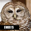 Emrys, Horizon Wings' barred owl.