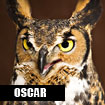 Oscar, Horizon Wings' great-horned owl.