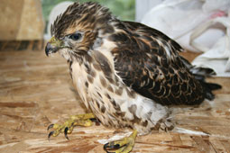 Broad-winged hawk fledgling.