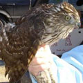 Cooper's Hawk released in Stafford, CT.