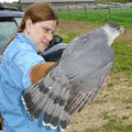 Cooper's Hawk released in Enfield, CT.
