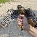 American Kestrel released in Coventry, CT.