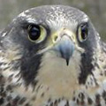 Peregrine falcon released in Killingly, CT.