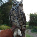 Great-horned owl released in South Coventry, CT.