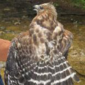 Red-shouldered hawk released in Woodstock, CT.