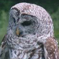 Mother barred owl.