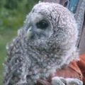 Nestling barred owl.