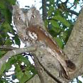 Red form screech owl.