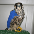 Peregrine falcon during rehabilitation.