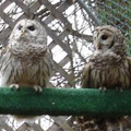 Two barred owls.
