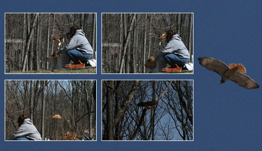 Mary-Beth releasing the red-tailed hawk.