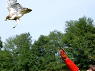 Volunteer Jeanne Wadsworth releasing a red-tailed hawk.